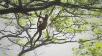 ��������� �������. ���������� ������������� �������� / A Real Swinger. Black-handed Spider Monkey (2012) HDTVRip